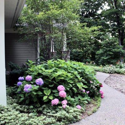 Hydrangea landscaping on walkway